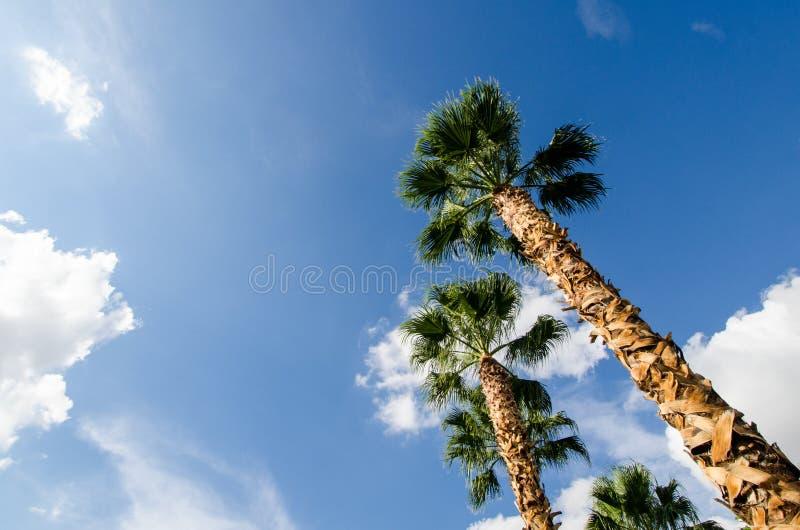 Palmen die, brede die hoek omhoog eruit zien tegen een heldere blauwe hemel wordt geïsoleerd royalty-vrije stock afbeeldingen