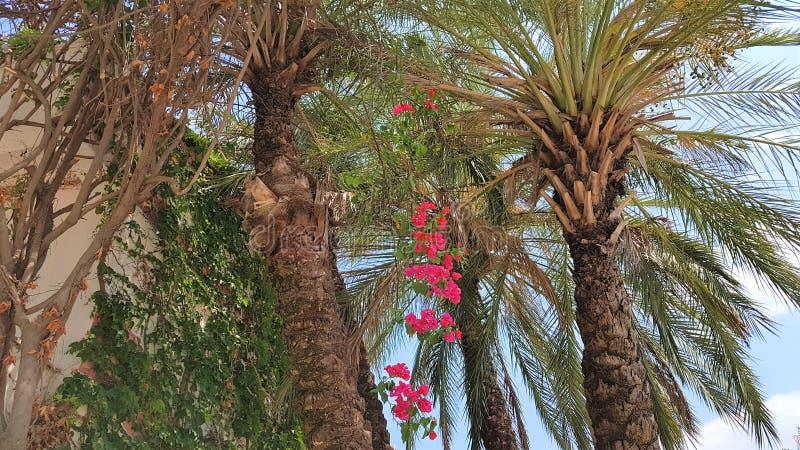 Palmen en bougainvillea in het hotel van de familietoevlucht, Kemer, Antalya-provincie, Turkije, Middellandse Zee stock foto's