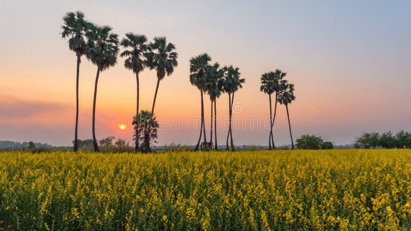Palmen im Feld Crotalaria lizenzfreies stockbild