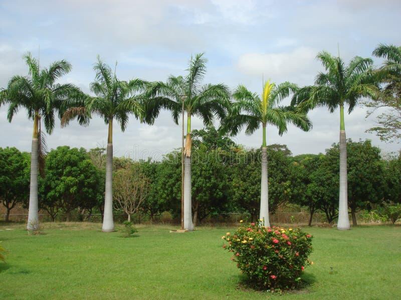 Palmen mit klarem skie stockbilder