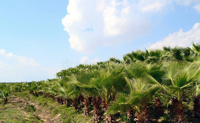 Palmen-Plantage stockfotografie