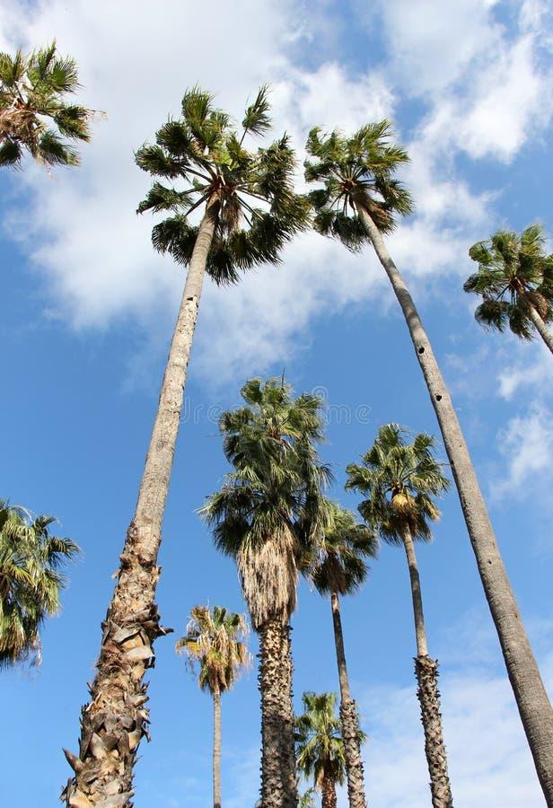 Palmen, robusta washingtonia stock afbeelding