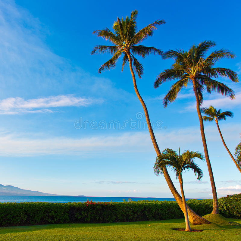 Palmen in Zonlicht op Maui Hawaï stock afbeeldingen