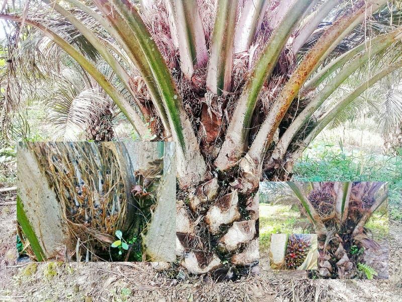 Palmenbaum ungewöhnlich riesig lizenzfreies stockfoto
