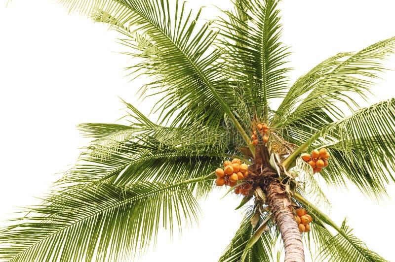 Palmenkokosnüsse lizenzfreie stockfotografie