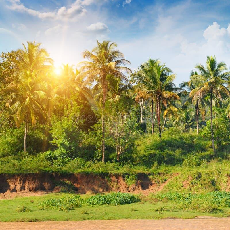 Palmenwaldung und der Sonnenaufgang stockfotos