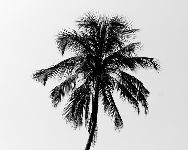 Palmera blanco y negro imagenes de archivo