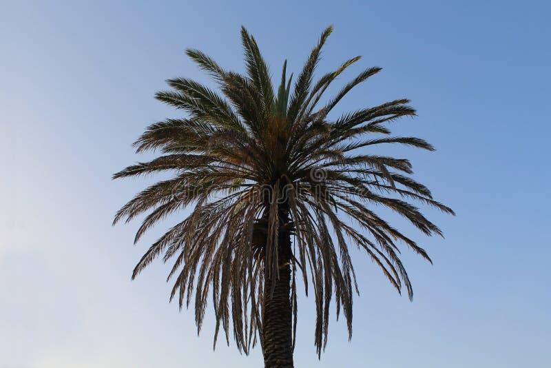 Palmera contra el cielo azul ¡Sus hojas como un sol encenderán para arriba su día! foto de archivo libre de regalías