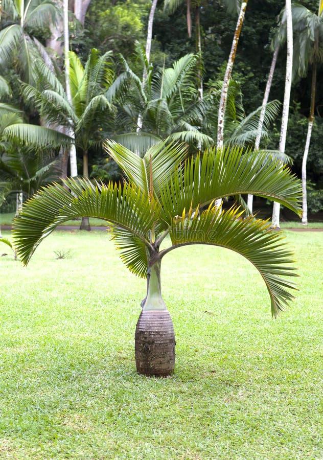 Palmera de la botella (Hyophorbe) mauritius fotos de archivo