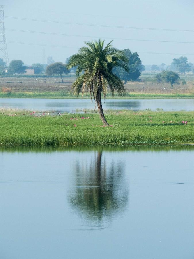 Palmera de la fecha, su reflexión en agua fotografía de archivo libre de regalías
