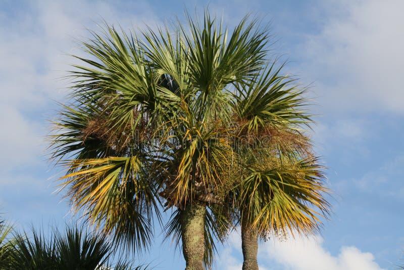 Palmera de la Florida imagenes de archivo