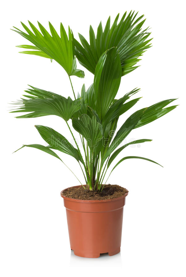 Palmera De Rotundifolia Del Livistona En Maceta Imagen de archivo ...