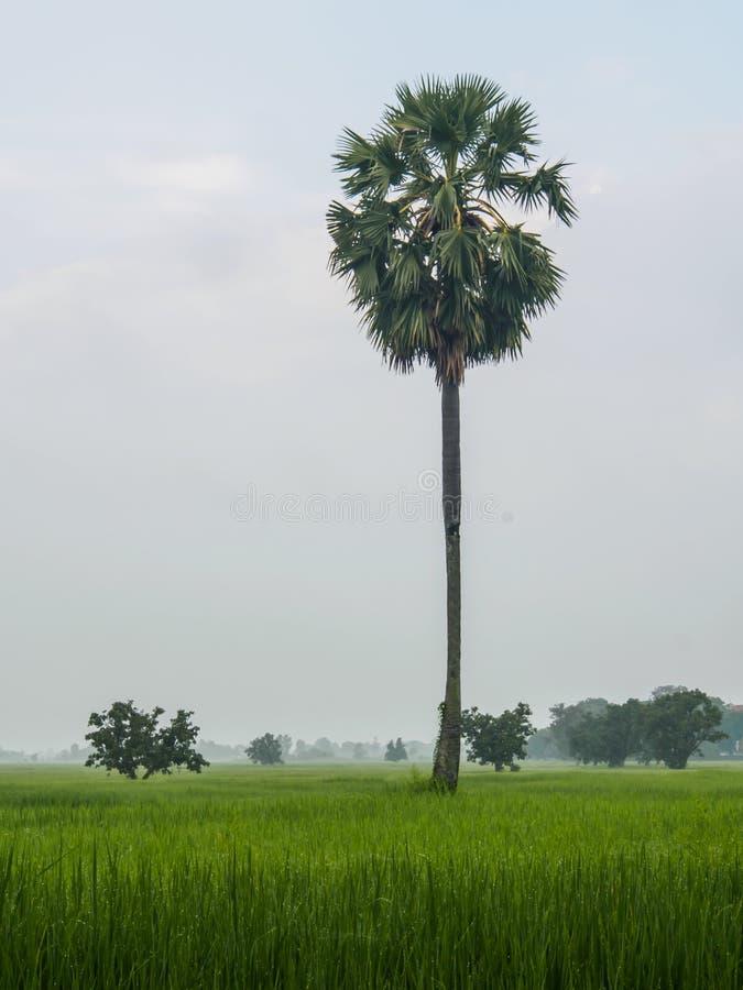 Palmera del azúcar en campo del arroz fotos de archivo