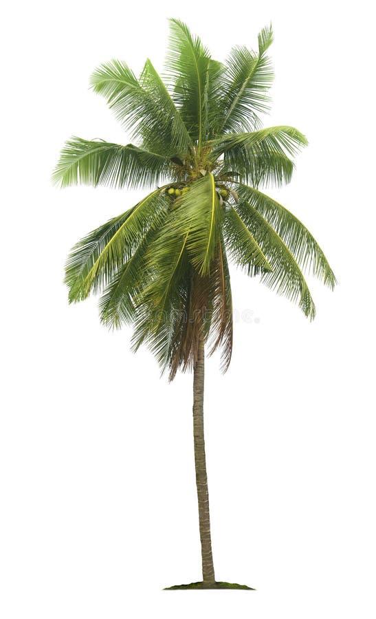 Palmera del coco aislada en el fondo blanco fotos de archivo