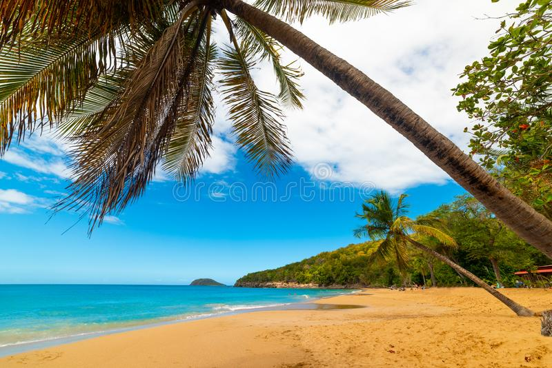 Palmera del coco que se inclina sobre la playa de Perle del La en Guadalupe imágenes de archivo libres de regalías
