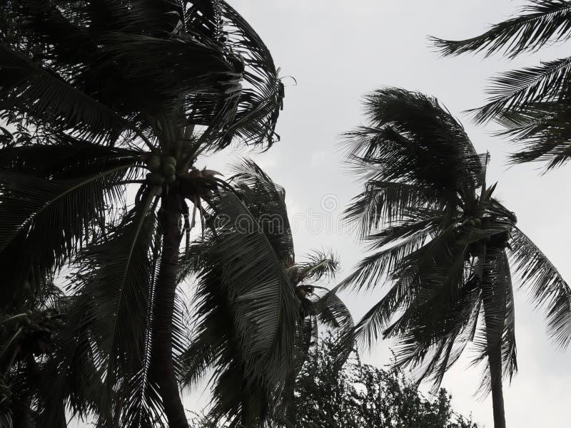 Palmera del coco que sopla en los vientos antes de huracán pesado Imagen entonada oscura imágenes de archivo libres de regalías