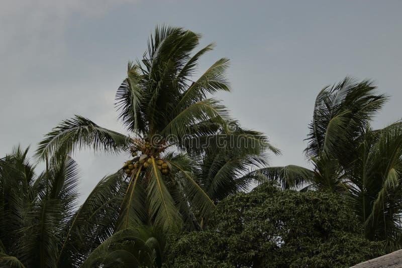 Palmera del coco que sopla en los vientos antes de una tormenta o de un huracán del poder foto de archivo