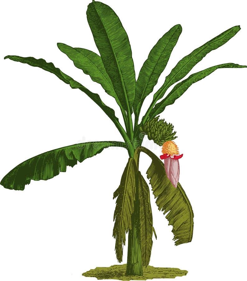 Palmera del plátano. Vector stock de ilustración