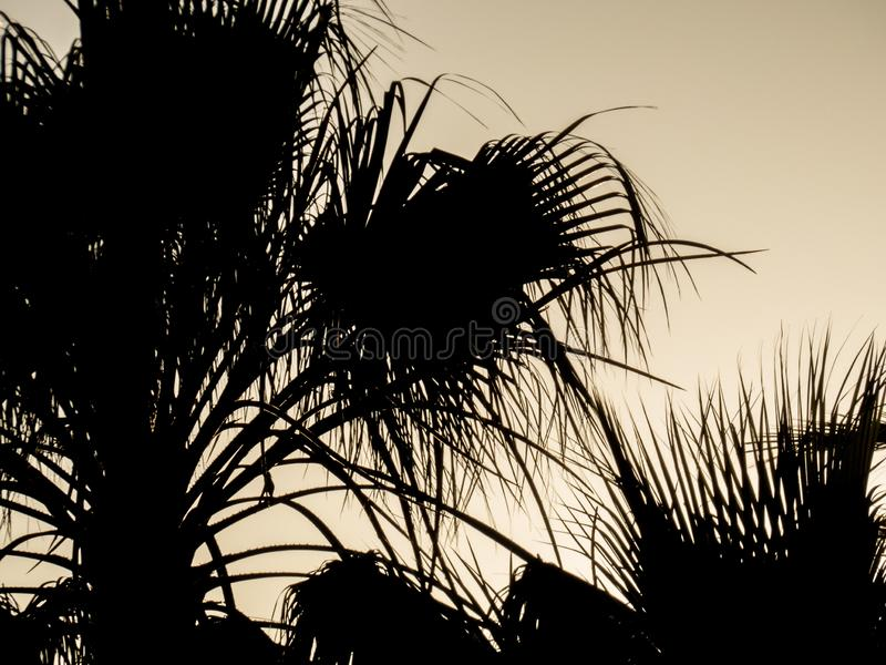 Palmera en el cielo de la puesta del sol E Silueta de hojas de palma contra el cielo de oro foto de archivo libre de regalías