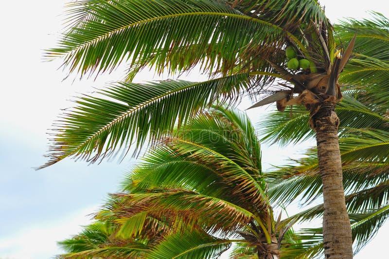 Palmera en la causa del huracán, de la hoja de la falta de definición ventosa y las fuertes lluvias imagenes de archivo