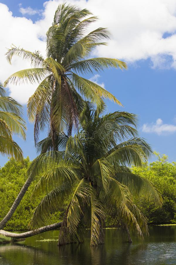 Palmera escénica hermosa en las islas de Grand Cayman fotografía de archivo