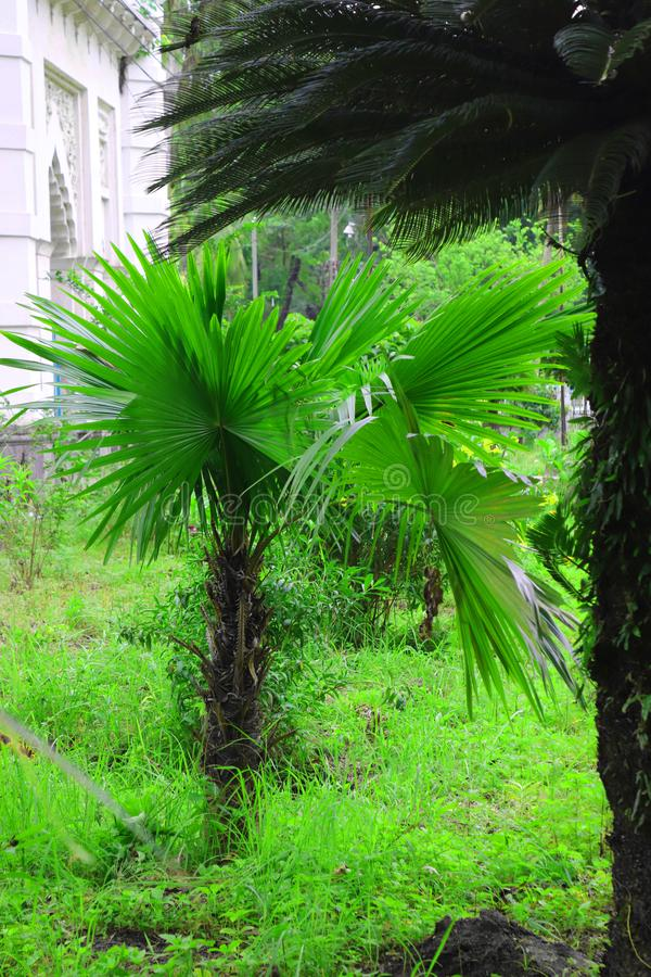 Palmera hermosa verde Palmera larga de la fecha del tronco Fechas en una palmera Ramas de la palma datilera con las fechas madura imagen de archivo