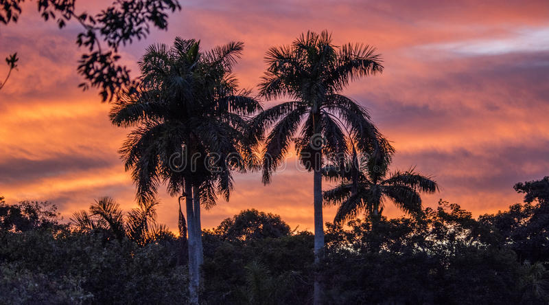 Palmera real en la puesta del sol fotografía de archivo