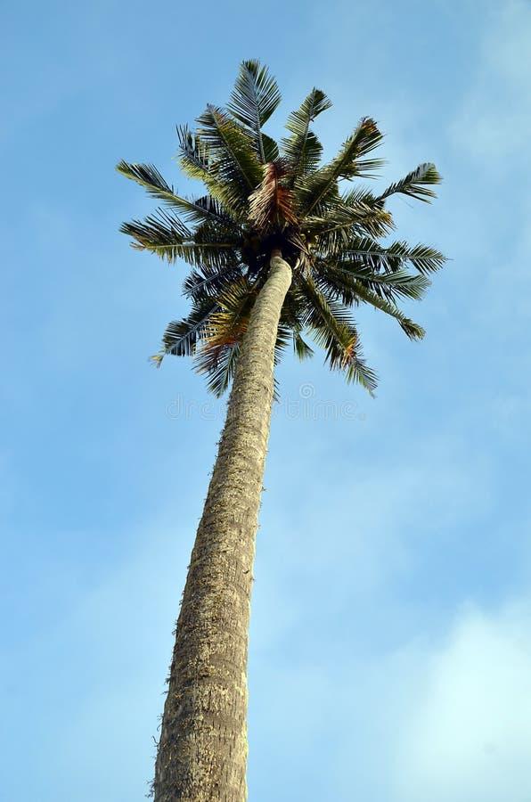 Palmera tropical grande alta en la playa imagen de archivo libre de regalías