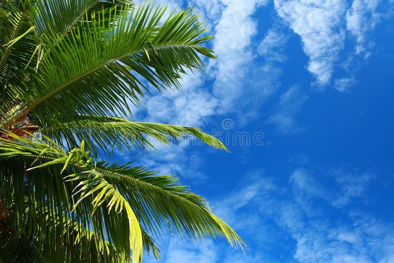 Palmera verde sobre el cielo azul foto de archivo libre de regalías