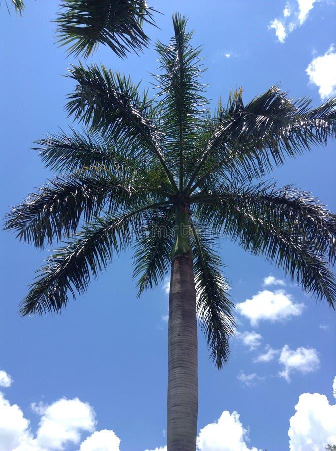 Palmera y cielos azules foto de archivo libre de regalías