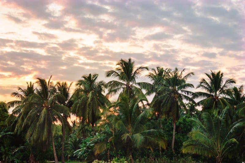 Palmeraie au coucher du soleil photographie stock libre de droits