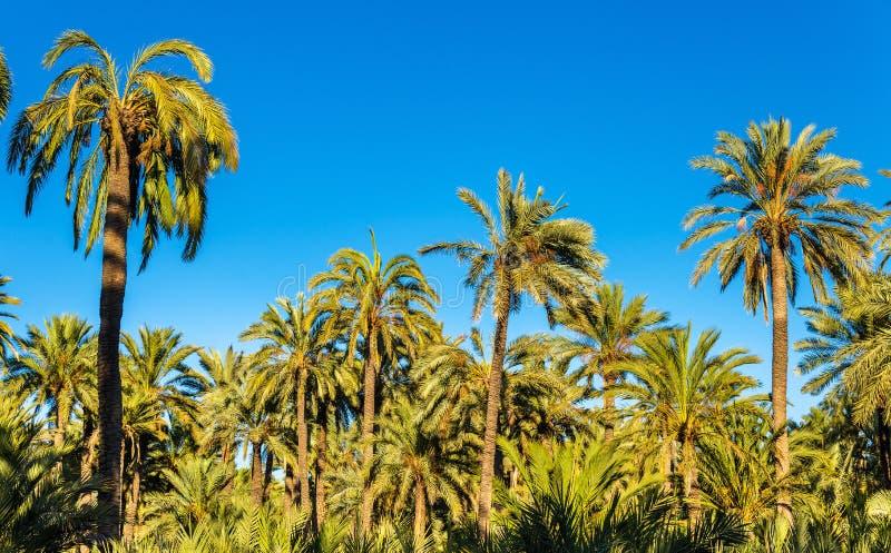 Palmeral d'Elche, Espagne Site d'héritage de l'UNESCO photographie stock