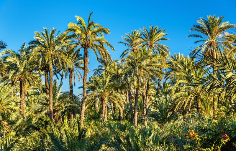 Palmeral Elche, Hiszpania Unesco dziedzictwa miejsce fotografia royalty free