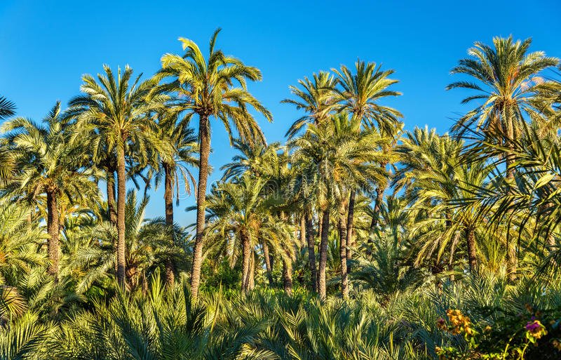 Palmeral of Elche, Spain. UNESCO heritage site. The Palmeral of Elche, Spain, one of the largest in the world. UNESCO heritage site royalty free stock photography