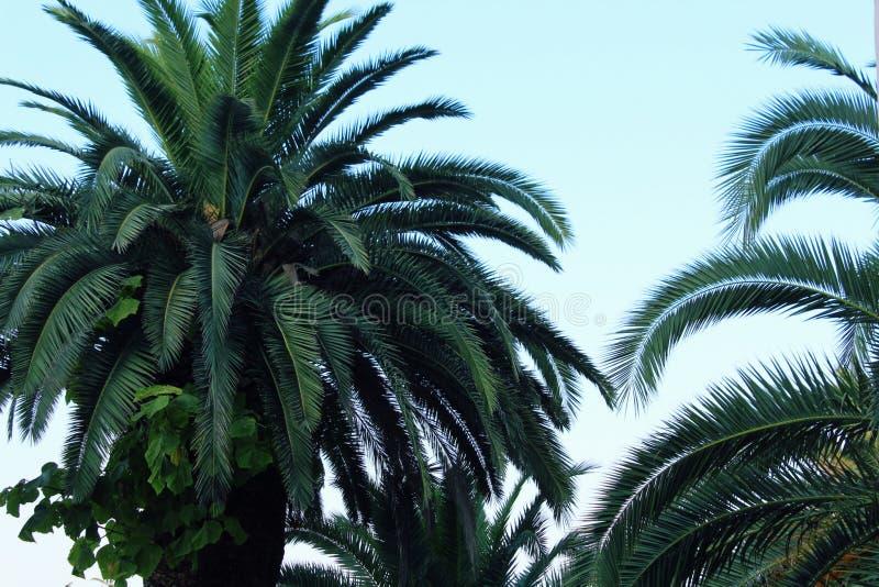Palmeras con las hojas verdes enormes en un primer del cielo azul fotografía de archivo