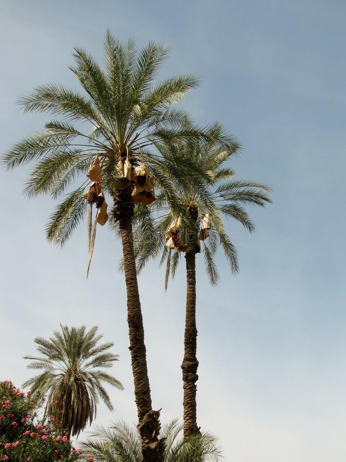 Palmeras dactylifera de Phoenix (fecha o palma datilera) imágenes de archivo libres de regalías