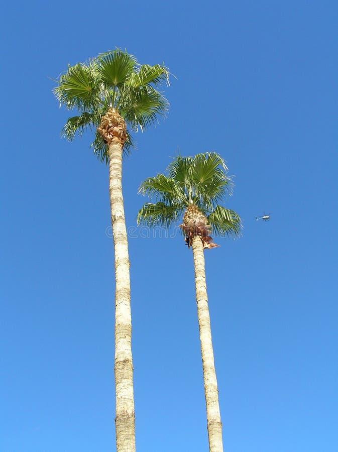 Palmeras de Arizona imagen de archivo libre de regalías