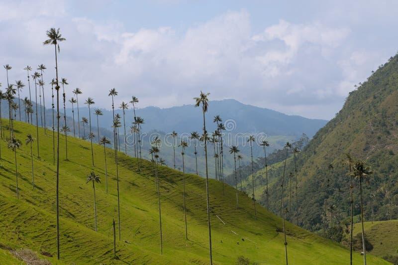 Palmeras de la cera del valle de Cocora, Colombia foto de archivo