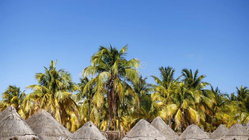 Palmeras del coco con las frutas fotos de archivo