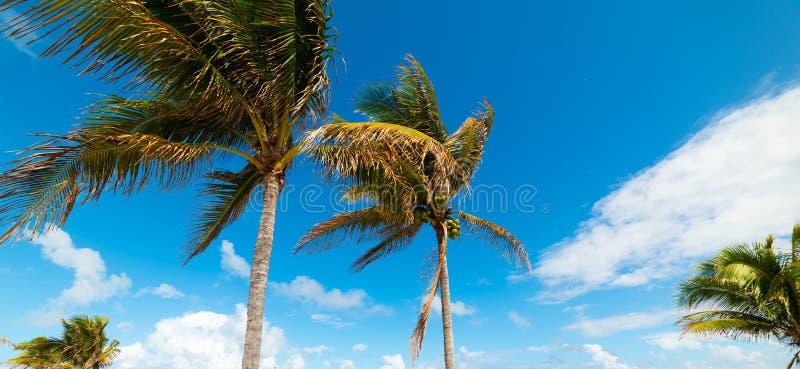 Palmeras del coco en orilla de la playa del pompano foto de archivo
