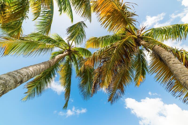 Palmeras del coco vistas de debajo en Guadalupe fotografía de archivo