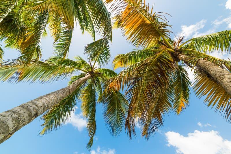 Palmeras del coco vistas de debajo en la playa de Bois Jolan imagenes de archivo