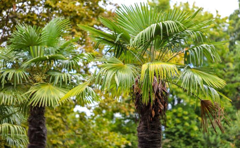 Palmeras en el parque Clima subtropical fotografía de archivo libre de regalías