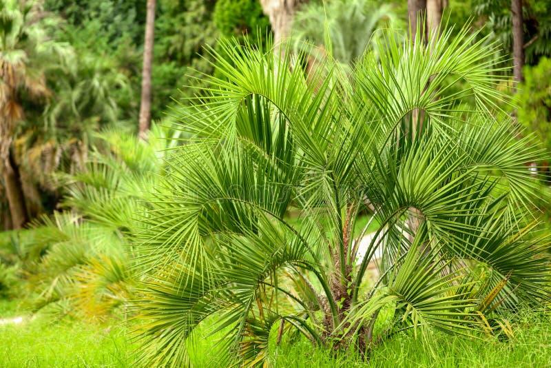 Palmeras en el parque Clima subtropical fotos de archivo
