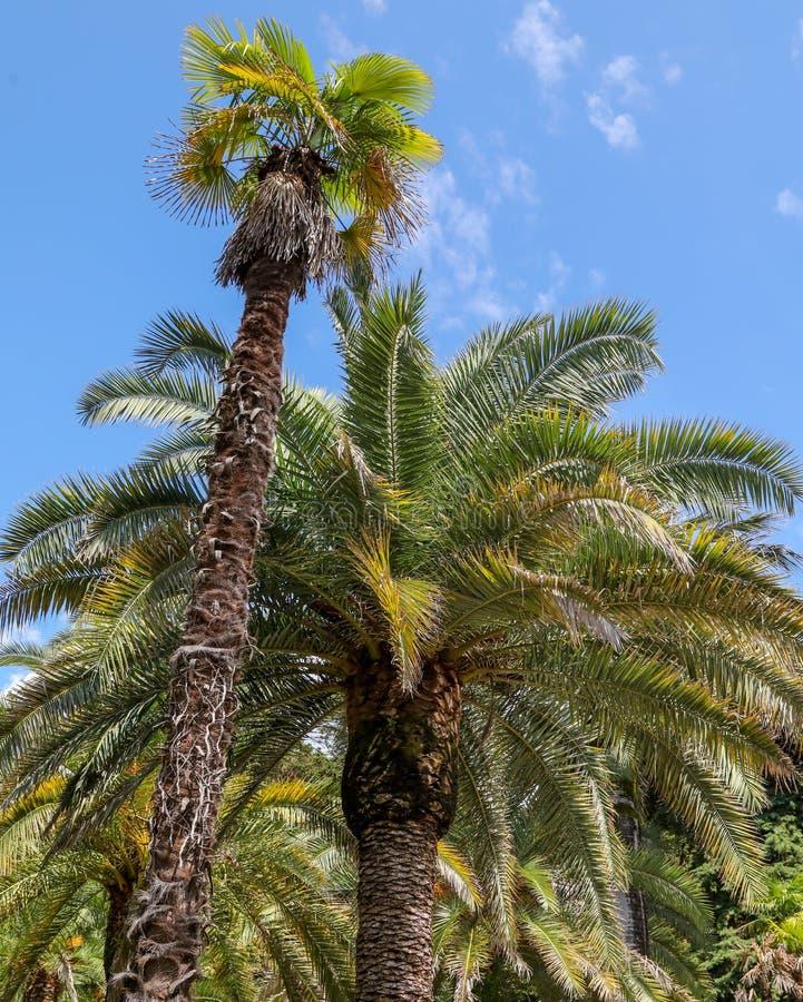 Palmeras en el parque Clima subtropical fotografía de archivo