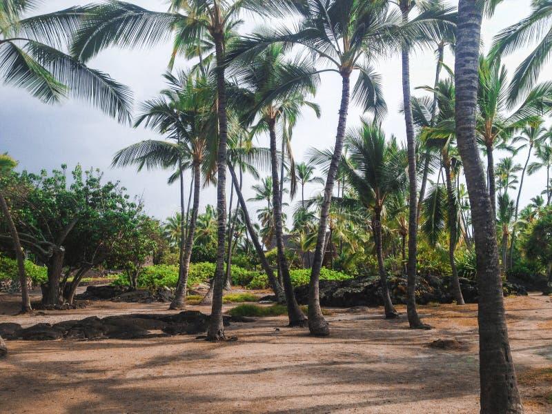 Palmeras en el parque histórico nacional del uhonua o Honaunau del ` de la PU, ha fotografía de archivo
