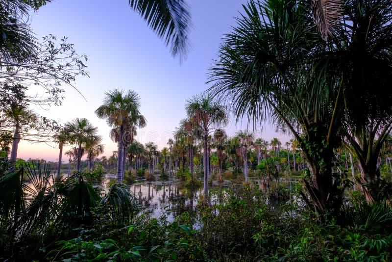 Palmeras en la laguna Lagoa das Araras en la salida del sol, Bom Jardim, Mato Grosso, el Brasil, Suramérica fotografía de archivo libre de regalías