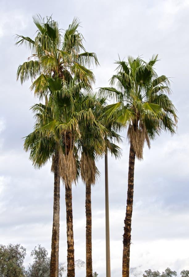 Palmeras en Nevado Tucson fotografía de archivo