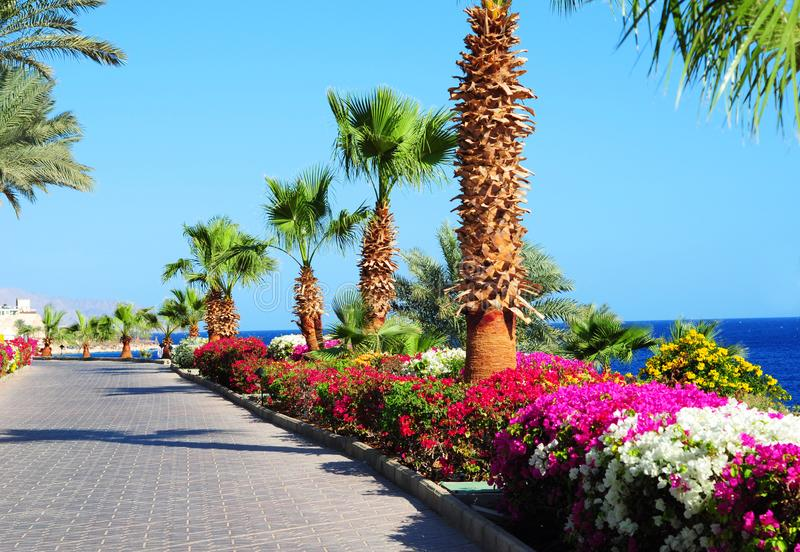 Palmeras, flores florecientes hermosas y acera en jardín tropical en costa de Mar Rojo foto de archivo libre de regalías