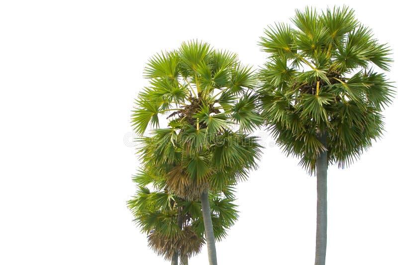 Palmeras maduras tropicales contra blanco foto de archivo